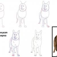 Как нарисовать овчарку