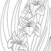 Раскраска Гладиолус