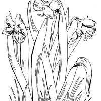 Раскраска Нарцисс